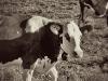 zweisimmen-cows-1-2-tre