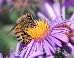 A European honey bee (Apis mellifera) extracts...